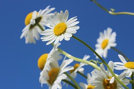 daisies-388946__180
