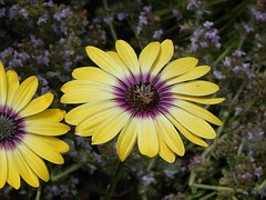 daisy-815454__180