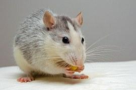 rat-440987__180