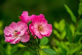 rose-526543__180