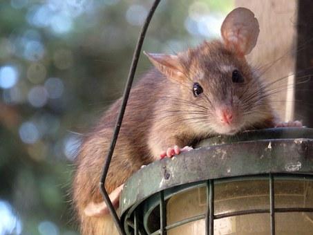 Decemberi előrejelzés, patkány hónap